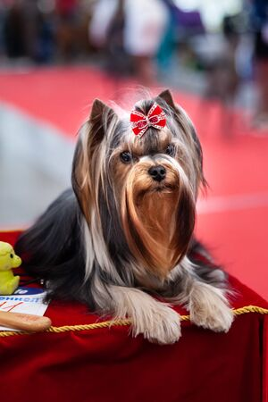 Portrait of a Yorkshire Terrier Show Class at a Dog Show