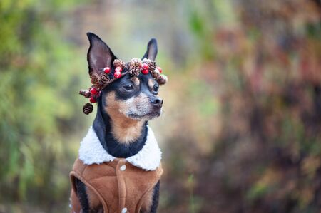 Cute dog in a sheepskin coat and a wreath of cones and berries, autumn mood, space for text