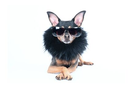 Luxury dog with dark glasses and boa isolated on white