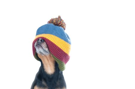 Funny photo of a dog in a hat stretched over his eyes isolated on white. Can't see, closed eyes, surprise concept. Stockfoto