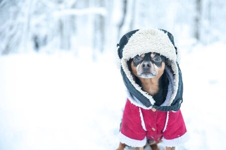 Dog in funny hat and a sheepskin coat. Winter theme, cold, dog clothes, christmas, new year, dog year. Dog in Winter clothes , space for text. Foto de archivo