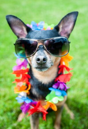 Stylish, fashionable portrait of a dog in sunglasses and a necklace of flowers on a green lawn.