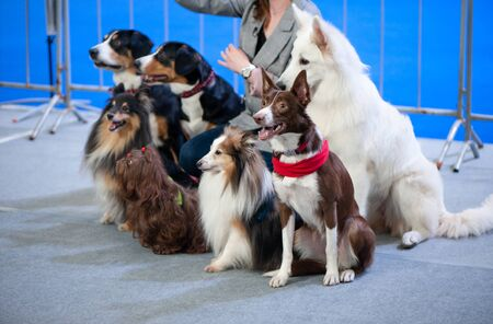 Cute dogs of different breeds at the exhibition, sitting in a group and listening to commands Banque d'images - 147065746