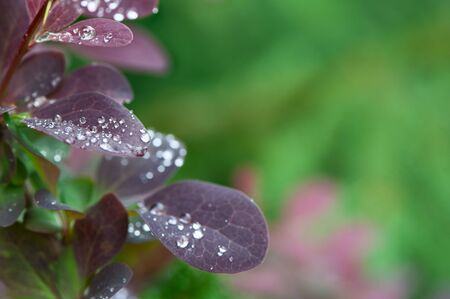 Beautiful natural background, dew drops on leaves, space for text, purple and green tones, summer Banque d'images - 150347760