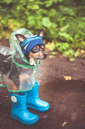 Concept of autumn and rain.  Funny dog in a hat, rubber boots  and raincoat standing in a puddle on a forest path,  portrait orientation Banque d'images - 150381225