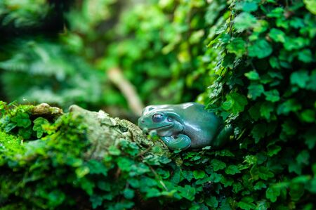 Green frog in foliage in natural conditions, jungle, tropics Banque d'images - 150347825