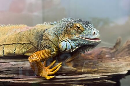 Beautiful yellow iguana sits on a branch and looks at the camera, macro portrait of a reptile