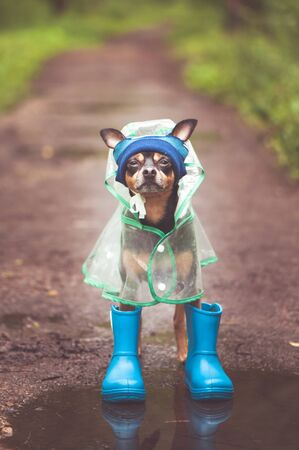 Concept of autumn and rain.  Funny dog in a hat, rubber boots  and raincoat standing in a puddle on a forest path,  portrait orientation Banque d'images