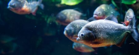 Group of red-bellied piranhas are swimming, bright, stock photo fish in natural conditions Banque d'images - 150381236