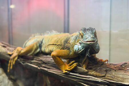 Beautiful yellow iguana sits on a branch and looks at the camera, macro portrait of a reptile Banque d'images - 150347058