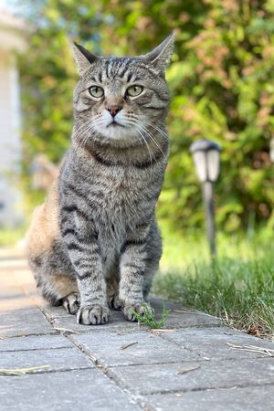 Big gray cat sit walkway on a summer cottage, natural natural background Banque d'images - 150346980