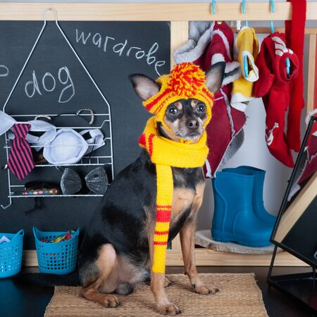 Cute dog in dressing room trying on clothes.  Animal clothing, dog wardrobe concept  Banque d'images