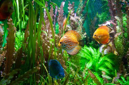 Discus fish. Beautiful multi-colored fish swim in an aquarium, orange and green tones. Banque d'images - 150347099