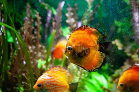 Discus fish. Beautiful multi-colored fish swim in an aquarium, orange and green tones. Banque d'images - 150347127