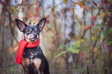 Smart dog  terrier with ideal data stands in the autumn forest and looks into the camera.Wearing a red scarf. Picturesque portrait of a dog.   Banque d'images