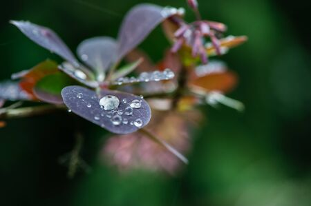 Beautiful natural background, dew drops on leaves, purple and green tones, summer Banque d'images - 150347118