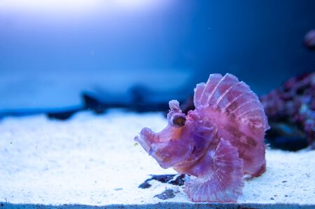 Pink Rhinopias frondosa  or Weedy scorpionfish swimming fish tank underwater aquarium Banque d'images - 150381241