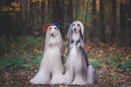 Dogs, Afghan hounds as teenagers, rappers. Dressed in stylish caps, the concept of youth fashion, clothes for dogs Banque d'images - 150347531