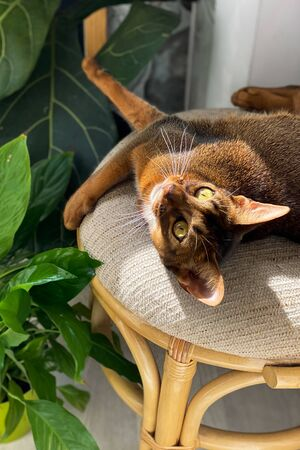 Beautiful Abyssinian cat plays and indulges in a home environment surrounded by green plants. Home comfort Banque d'images - 150347769