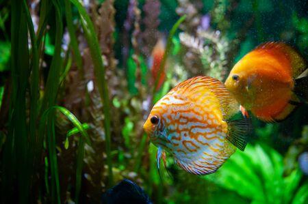 Discus fish. Beautiful multi-colored fish swim in an aquarium, orange and green tones. Banque d'images - 150346820