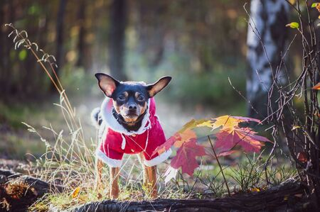 Dog, a toy terrier, a stylishly dressed little dog in a sweater and a sheepskin coat, against the backdrop of late autumn. Clothes for dogs. Banque d'images - 150381246