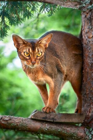 Beautiful Abyssinian cat sits on a tree and hunts, a beautiful portrait of a cat in natural conditions Banque d'images - 150347124