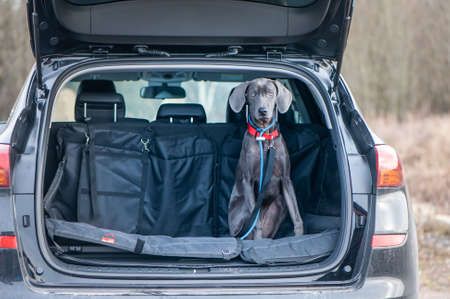 blue Weimaraner in the car. Concept of travel with animals, transportation of dogs.