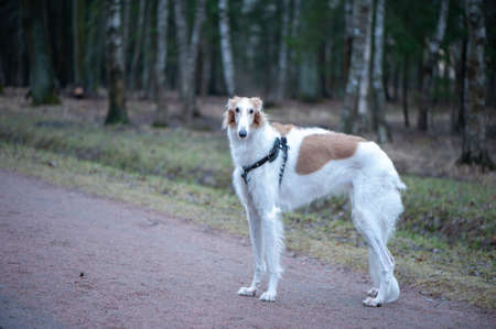 Portrait of a beautiful Russian Greyhound, Borzoi dog looking in the spring park Banque d'images