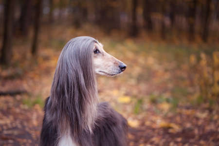 Dog, gorgeous Afghan hound against the background of the autumn forest, space for text, toned red