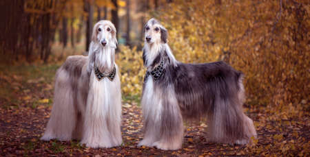 Two magnificent Afghan hounds, similar to medieval lords, with hairstyles and collars Stylish, gorgeous dogs on the background of the autumn mystical forest