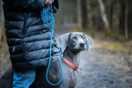 Portrait of a beautiful dog blue Weimaraner breed with a girl owner in nature Banque d'images