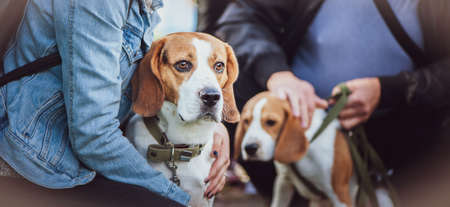 Beautiful Beagle at the Dog Show at the hands of the owner