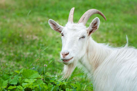 Goat eat grass on the farm on a summer sunny day, looking at the camera Banque d'images