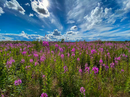 Large, beautiful field of willow-herb-on flowers a background of blue sky and clouds