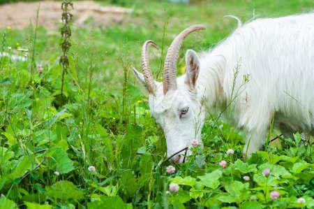 Goats eat grass on the farm on a summer sunny day