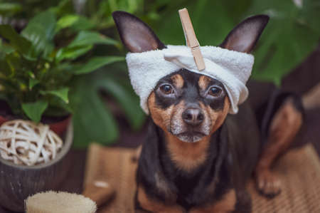 Dog spa, Cute pet relaxing in spa wellness, Funny concept grooming, washing and caring for animals Banque d'images
