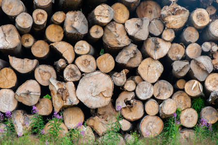 Wooden logs of pine woods in the forest. Chopped tree logs stacked up on top of each other in a pile. Banque d'images