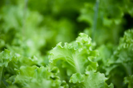 Juicy, green lettuce, greens close-up on the garden bed, blurred background, space for text