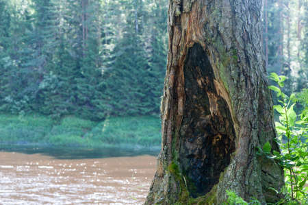 Huge hollow in a tree standing on the beach of the river