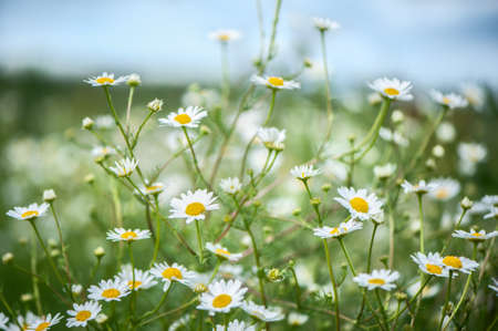 Daisies in the field, spring and summer theme, beautiful landscape Banque d'images