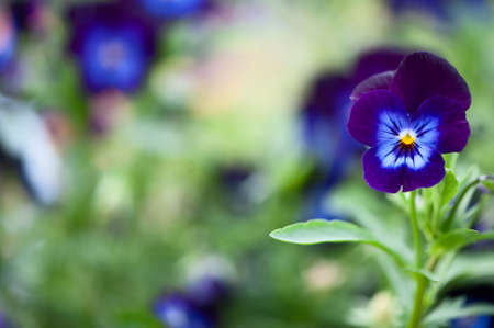 Blue flowers pansies macro, spring summer decorative flowers flowers, space for text