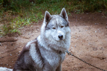 Dog breed Husky portrait looking at the camera Banque d'images