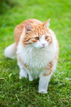 Big beautiful red cat walks on the grass on a summer day, walks in nature