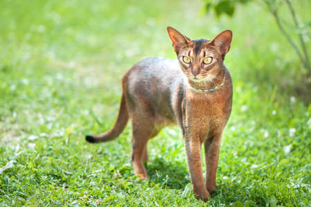 Perfect Abyssinian cat close-up portrait on a walk, a cat on a green lawn, space for text
