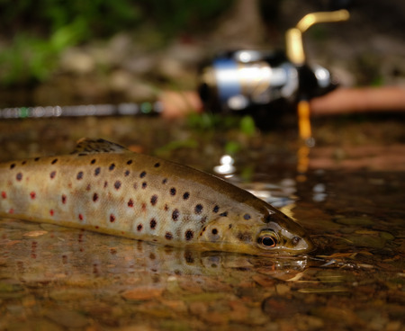 brown trout: wild brown trout