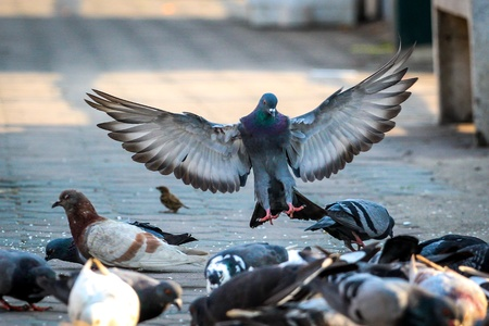 expand: pigeon expand the wings