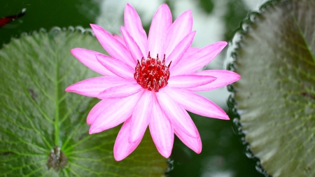 siam: siam lotus