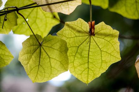 branch cut: ivy leaves