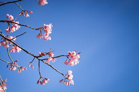 Cherry blossom Фото со стока - 50881641