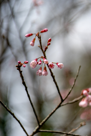 wild himalayan cherry Stok Fotoğraf
